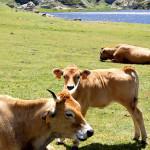 La carne de ternera asturiana, la mejor de Europa